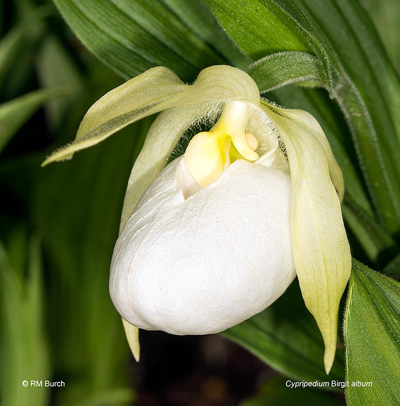 Cypripedium Birgit album