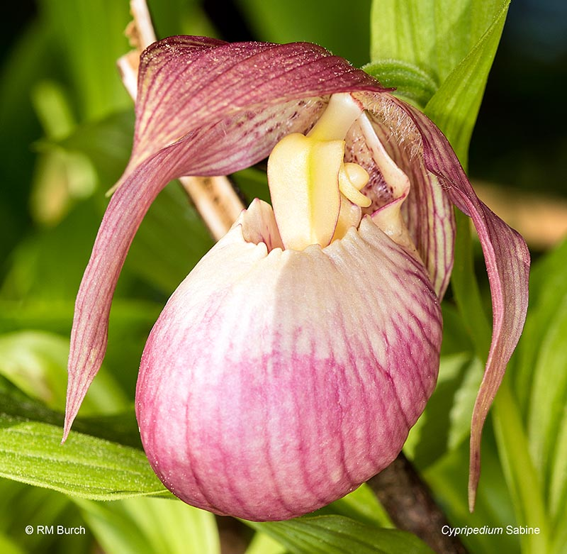 Cypripedium Sabine
