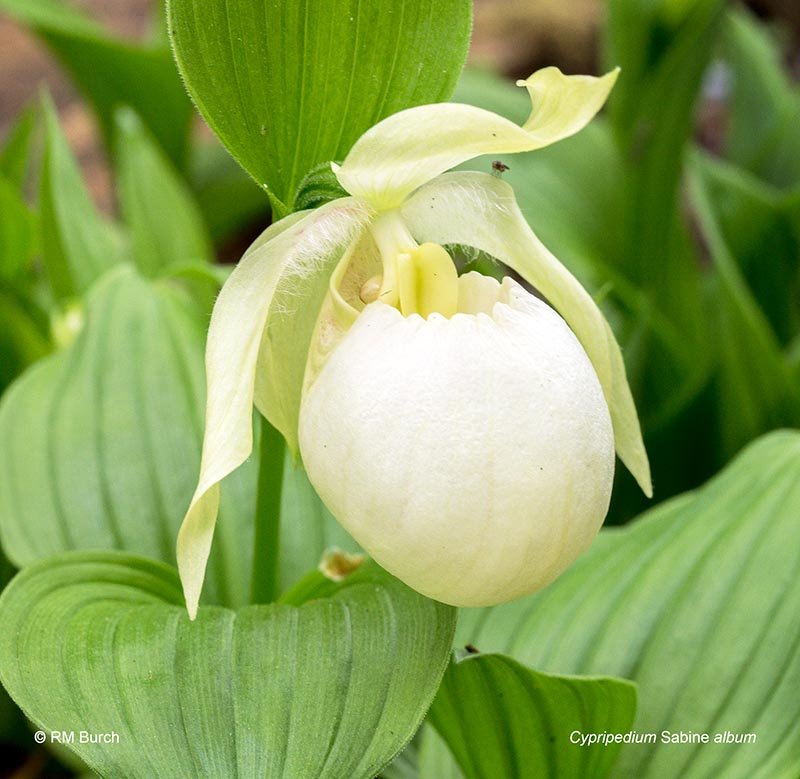 Cypripedium Sabine album
