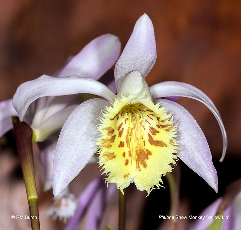 Pleione Snow Monkey Yellow Lip